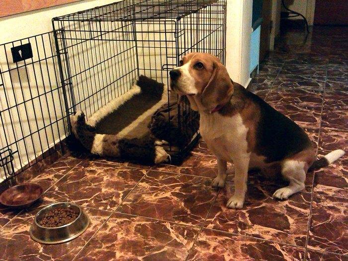Beagle-poza-mancare