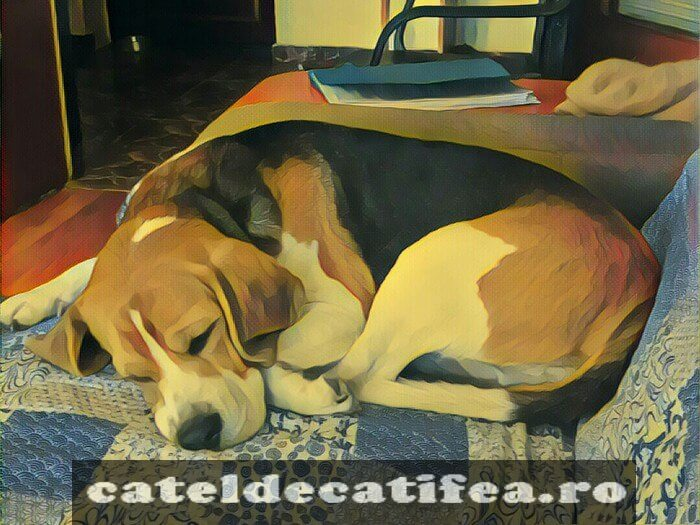 contact-beagle