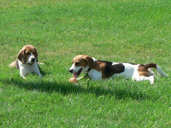 dimineata-de-beagle