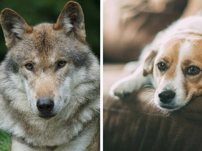 Domesticirea Câinelui – El Pe Noi Sau Noi Pe El?