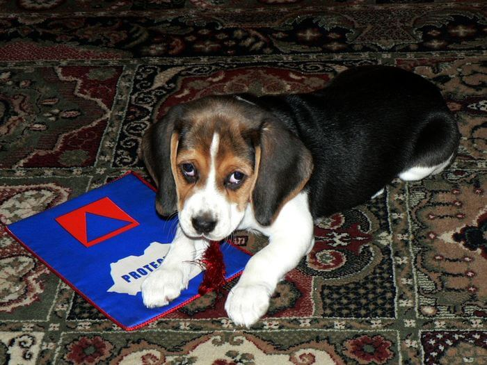 Dresajul Puiului De Câine: Exersarea Atenţiei La Stăpân