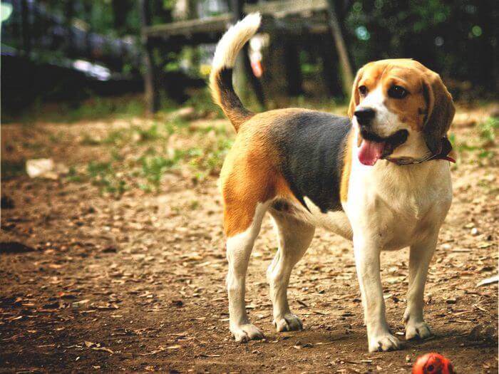 O-dimineata-beagle