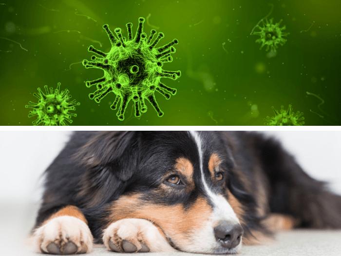 Coronavirus și Animalele De Companie