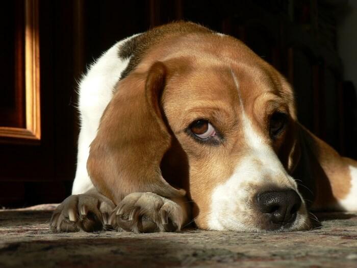 Vreau-beagle